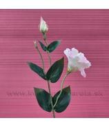 Eustoma Zápich Stonka Kvet dva puky bieloružová 48cm
