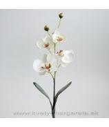 Phalaenopsis 4-kvetý biely