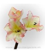 Amarylka satén krémovo rúžová 3-kvetá