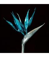 Strelícia tyrkysovo-strieborná 70cm - zľava 50% SUPER CENA