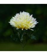 Chryzantéma stonková strapatá 43cm bielo-žltá melírová